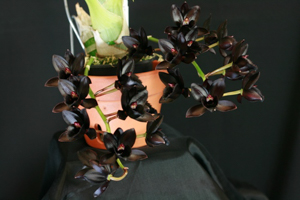 Fdk. After Dark 'SVO Black Pearl' FCC/AOS