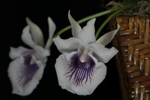 Cochleanthes (Cnths.) amazonica