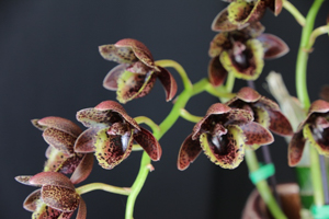 Fdk. After Dark 'Sunset Valley Orchids' FCC/AOS