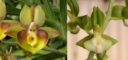 Catasetum Competition Grow