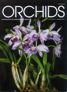 Lc. Indigo Mist 'Cynosure' Orchids Cover Photo