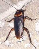 Cockroach - photo courtesy of the American Orchid Society