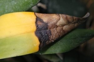 Fruiting Bodies on Infected Cattleya Leaf