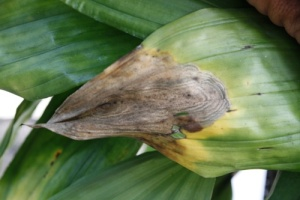Anthracnose on Cattleya Orchid