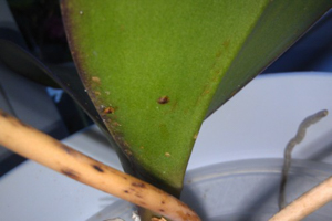 Scale on Lower Surface of Phal Leaf