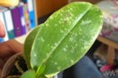 Orchid Leaf Pockmarked from Mites