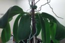 New Plants on Phal Flower Spike
