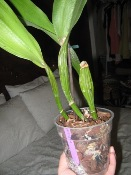 Cattleya Dehydrated Due to Lack of Water