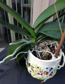 To Pot or Not Repot My Phal